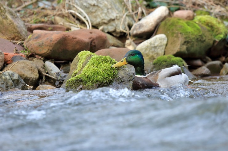 duck-1226001_1920